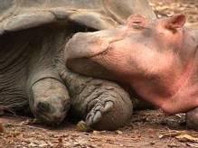 NijlpaardSchildpad