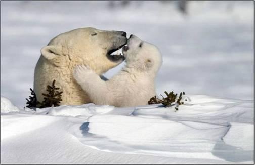 13-8 ijsbeer